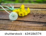 Small photo of Single-minded dandelion bloomed early and took the lead