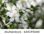 Flower Of A White Apple Tree O...