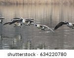 Canada Geese Coming For A...