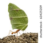 Small photo of Leaf-cutter ant, Acromyrmex octospinosus, carrying leaf in front of white background