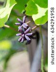 Small photo of Flower of Akebia quinata on farm