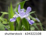 A Dwarf Crested Iris Flower...