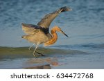 Reddish Egret Feeding At Ocean...