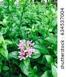 Small photo of Ruttyruspolia 'Phyllis Van Heerden' / Pink Ruspolia / Pricklybush / Ruddy Rose (Ruspolia hypocrateriformis (Vahl) Milne-Redh.)