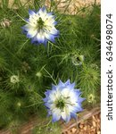 Small photo of Blue Love-In-A-Mist