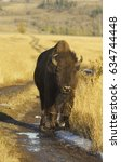 Small photo of American Bison with grass on road to nowhere