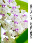 Small photo of Eria thailand orchid, White orchid