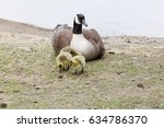 Canada Goose Family At Richmon...