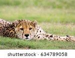 a cheetah  acinonyx jubatus ...   Shutterstock . vector #634789058