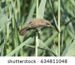 Small photo of Clamorous reed warbler acrocephalus stentoreus perched on reeds along the banks of a river