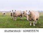 sheep in belgium. group of... | Shutterstock . vector #634855574
