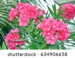 Closeup Pink Oleander Or Neriu...