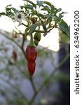 Small photo of The summer red chilli.