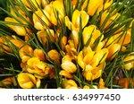 saffron crocus or crocus...   Shutterstock . vector #634997450