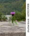 a single scottish thistle... | Shutterstock . vector #635019308