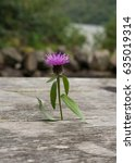 a single scottish thistle... | Shutterstock . vector #635019314