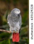 Small photo of African grey parrot almost ready to doze off