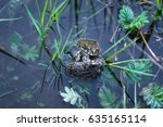 Copulation Of Three Frogs In...