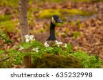 Canadian Goose In The Spring