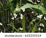 white flowers of arrowhead or... | Shutterstock . vector #635255519