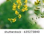 beautiful common laburnum... | Shutterstock . vector #635273840