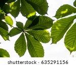 green chestnut leaves. sun... | Shutterstock . vector #635291156