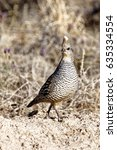 Small photo of This Scaled Quail (Callipepla squamata) was following its mate in Bitter Lake National Wildlife Refuge in New Mexico. They prefer to walk or run rather than fly.