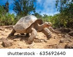 Ivory Turtle. The Galapagos...