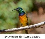 Male Orange Breasted Sunbird...
