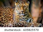 Leopard Portrait. Leopard Eyes...