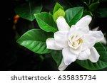 Beautiful White Gardenia On...