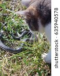 Small photo of Domestic cat hunting and killing adder snake.