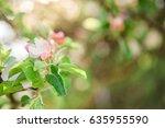 Apple Blossoms In Michigan