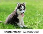 Cute Little Siberian Husky...