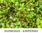 alfalfa sprouts  medicago... | Shutterstock . vector #636053063
