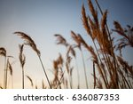reed vs. sunset. selective... | Shutterstock . vector #636087353