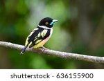 beautiful broadbill bird ...   Shutterstock . vector #636155900