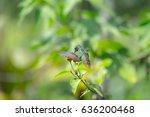 Small photo of Rufous tailed hummingbird (Amazilia tzacatl) feeds in the wild. Costa Rica