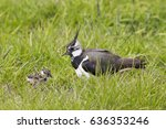 northern lapwing and juvenile...   Shutterstock . vector #636353246