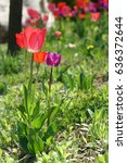 purple and red tulips  radiant... | Shutterstock . vector #636372644