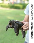 Small photo of Hand holding an alligator snapping turtle.