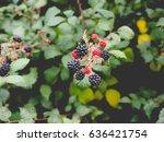 blackberry  rubus fruticosus ... | Shutterstock . vector #636421754
