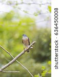 Small photo of Japanese sparrowhawk(Accipiter gularis)