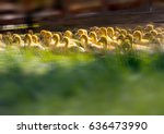 Little Ducklings Among The...