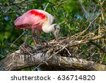 A Roseate Spoonbill Tending To...