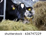 Black And White Cows Eating Hay ...