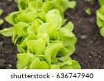 green garden salad    Shutterstock . vector #636747940