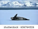 crabeater seal waving in... | Shutterstock . vector #636764326