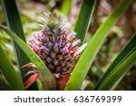 Red Pineapple Farm   Ananas...