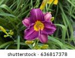 Purple Stealla D'oro Daylily